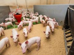 Świnie w badaniach naukowych, hodowli i produkcji